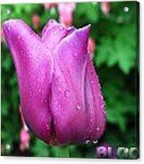 Bloom Tulip After Rain Acrylic Print