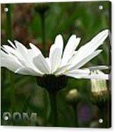 Bloom White Daisy Acrylic Print