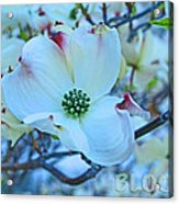 Bloom White Dogwood Acrylic Print