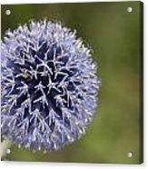 Bloomed Blue Acrylic Print