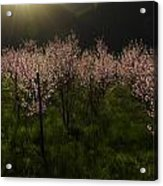 Blooming Almond Trees Acrylic Print