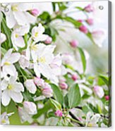 Blooming Apple Tree Acrylic Print by Elena Elisseeva