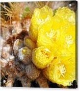 Blooming Barrel Cactus Acrylic Print