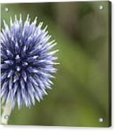 Blooming Blue Acrylic Print