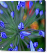 Blooming Blues Acrylic Print
