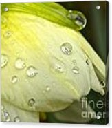 Blooming Daffodil With Raindrops Acrylic Print