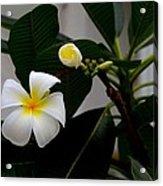 Blooming Frangipani Flower Alongside Bud Acrylic Print