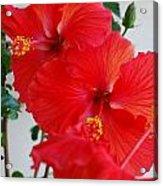 Blooming Hibiscus Acrylic Print