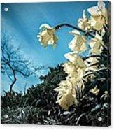 Blooming  Acrylic Print