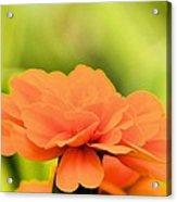 Blooming Marigold Acrylic Print