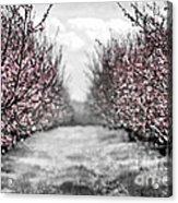 Blooming Peach Orchard Acrylic Print by Elena Elisseeva
