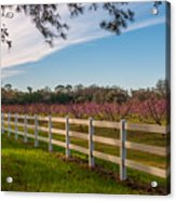 Blooming Peach Tree's At Boone Hall Acrylic Print