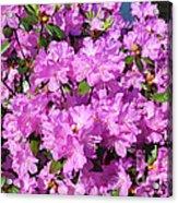 Blooming Pink Azaleas Acrylic Print