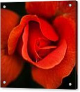 Blooming Red Rose Acrylic Print