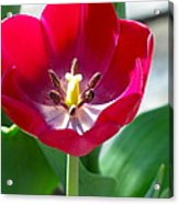 Blooming Red Tulip Acrylic Print