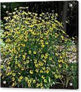 Blooming Rudbeckia Bush Acrylic Print