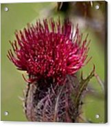 Blooming Spear Thistle Acrylic Print