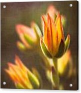 Blooming Succulents V Acrylic Print