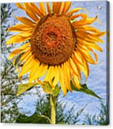 Blooming Sunflower V2 Acrylic Print by Adrian Evans