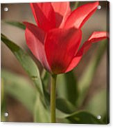 Blooming Tulip Acrylic Print by Cari Gesch