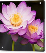 Blooming Violet  Acrylic Print