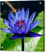 Blooming Water Lily Acrylic Print