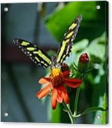 Blooms And Butterfly1 Acrylic Print