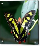 Blooms And Butterfly6c Acrylic Print