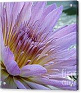 Bloom's Blush Acrylic Print