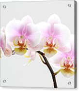 Blooms On White Acrylic Print by Juergen Roth