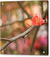 Blossom Amidst The Thorns Acrylic Print
