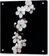 Blossom On Black Acrylic Print