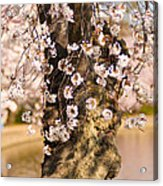 Blossom Ponytails Acrylic Print