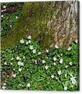 Blossom Windflowers Acrylic Print