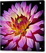 Blossoming Flower Acrylic Print