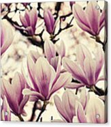 Blossoming Of Magnolia Flowers In Spring Time Acrylic Print