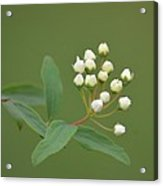 Blossoming Spirea Buds Acrylic Print