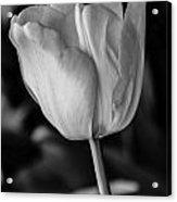 Blossoming Tulip Acrylic Print