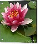 Blossoming Waterlily Acrylic Print