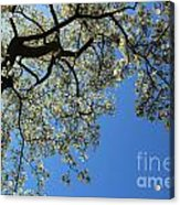 Blossoming White Magnolia Tree Against Blue Sky Acrylic Print