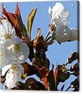Blossoms 2 Acrylic Print