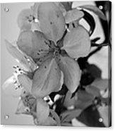 Blossoms 2013 Monochrome Acrylic Print