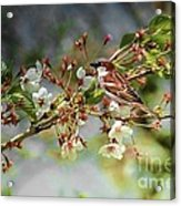 Blossoms And Sparrow Acrylic Print