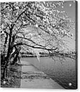 Blossoms In Bw Acrylic Print