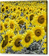 Blossoms Only Sunflowers Acrylic Print by Thomas Pettengill