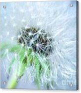 Blowball  - Blue Acrylic Print