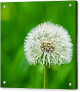Blowball Of Dandelion - Featured 3 Acrylic Print