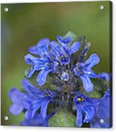 Blue Ajuga Acrylic Print