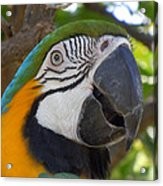Blue And Gold Macaw Acrylic Print