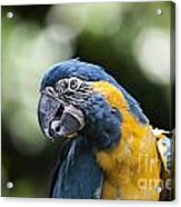 Blue And Gold Macaw V5 Acrylic Print